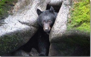 hibernating-bear-coming-out-of-cave